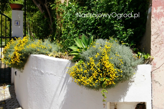 santolina-chamaecyparissus-1
