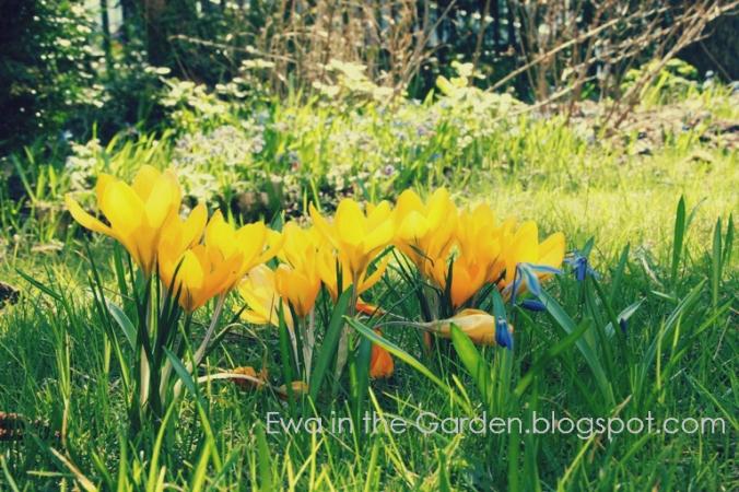 kwiaty-cebulowe-1