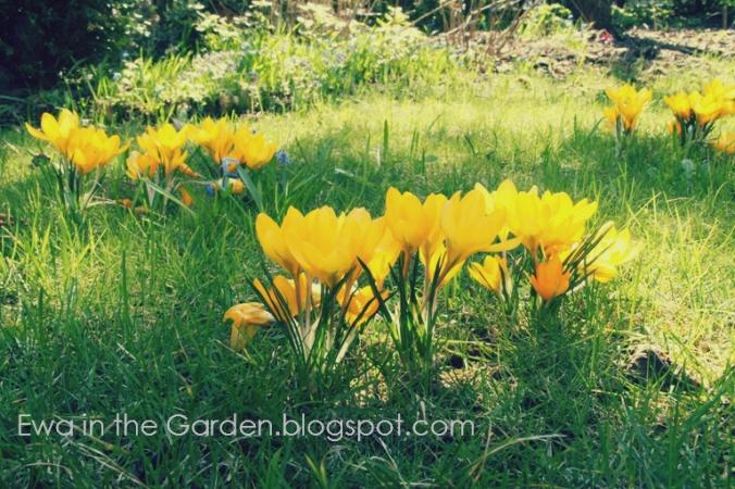 kwiaty-cebulowe-4
