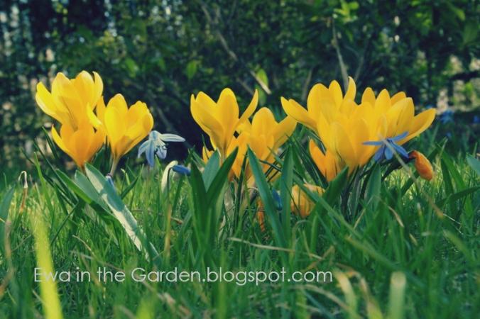 kwiaty-cebulowe-7