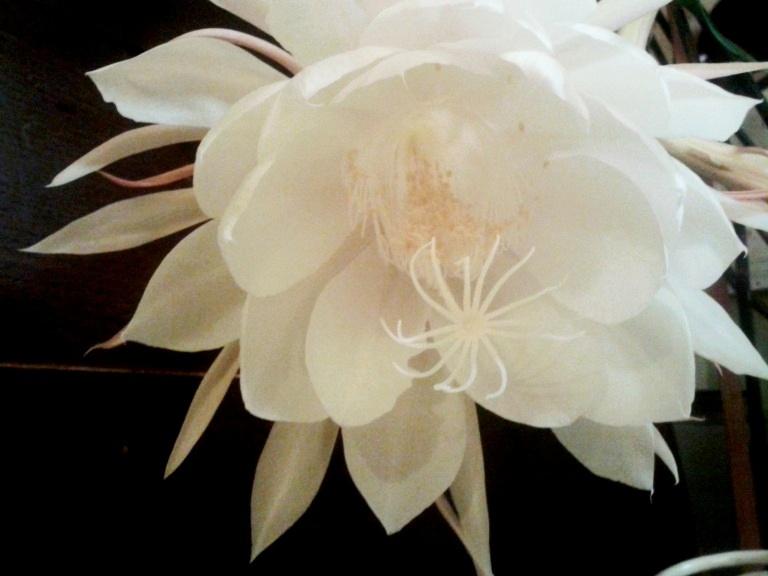 Epiphyllum-Oxypetalum-5