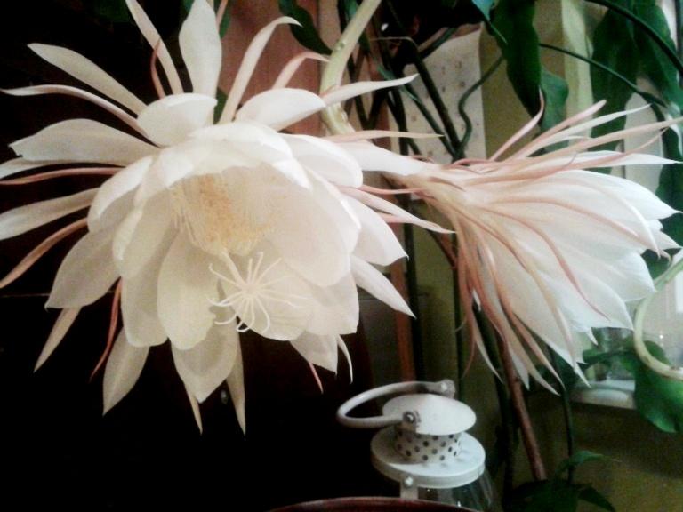 Królowa jednej nocy Epiphyllum oxypetalum fotografowana co 10 minut