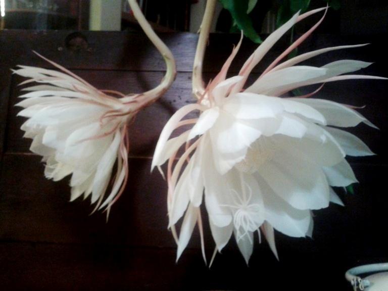 Epiphyllum-Oxypetalum-8