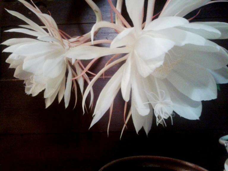 Epiphyllum-Oxypetalum-9b