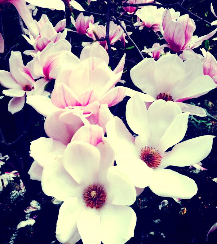 magnolia-x-soulangeana