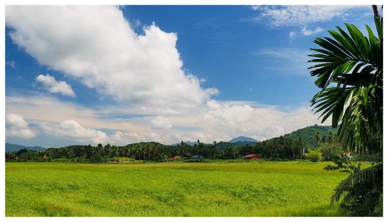 Azja - Wyspa Langkawi w Malezji. Pola ryżowe w nie turystycznej części wyspy.