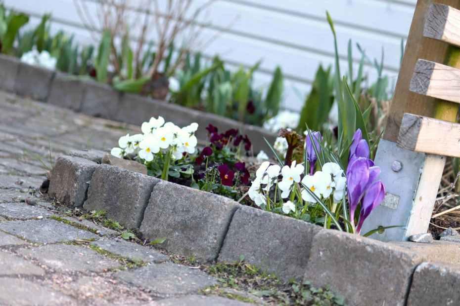 plantera penseer i marken på våren