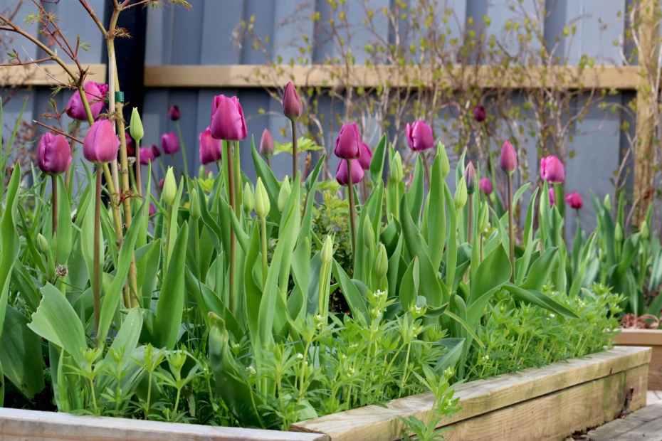 natalia lindberg trädgårdsarkitekt tulpan purple prince