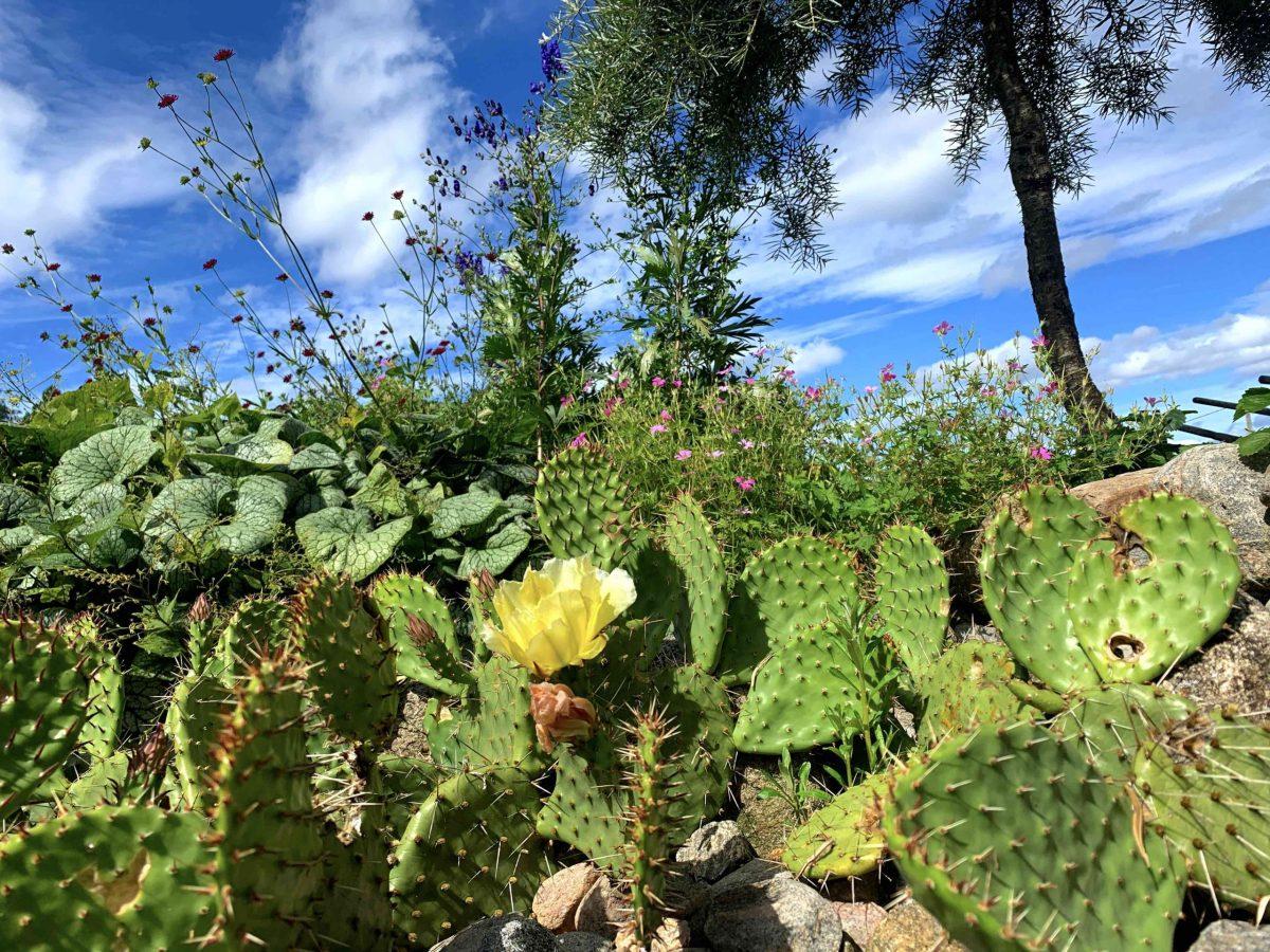 Natalia Lindberg Trädgårdsdesign Sammels Lantgård kaktus gul blomma