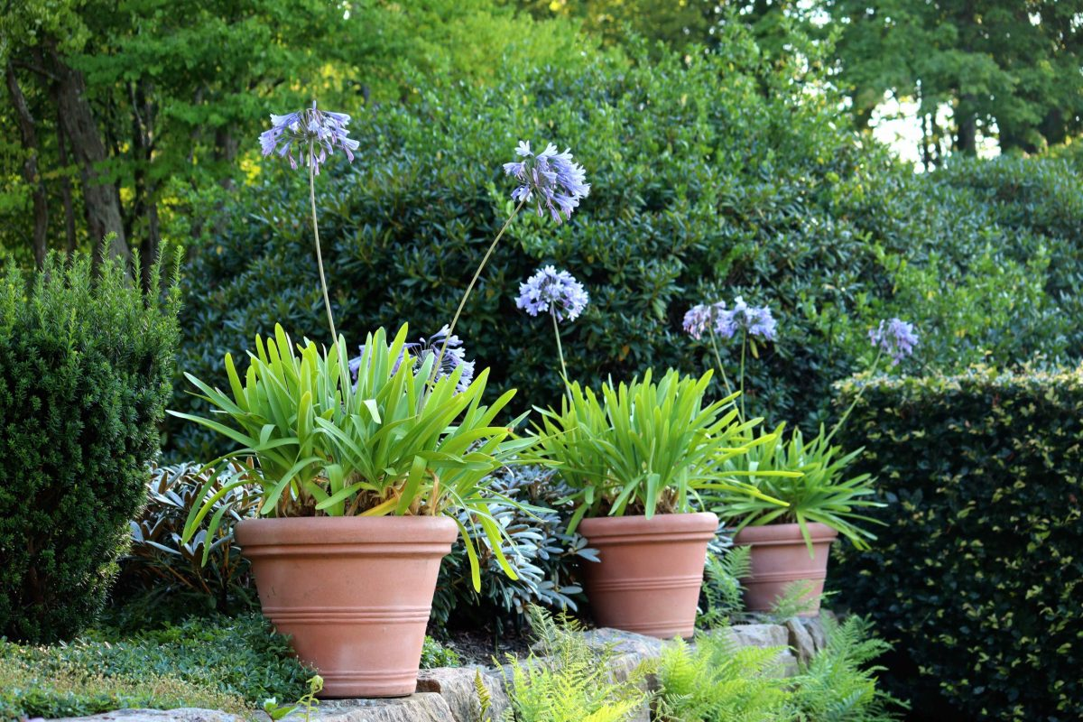 Natalia Lindberg Trädgårdsdesign - Göteborgs botaniska trädgård agapanthas afrikas blå lilja teracottakrula