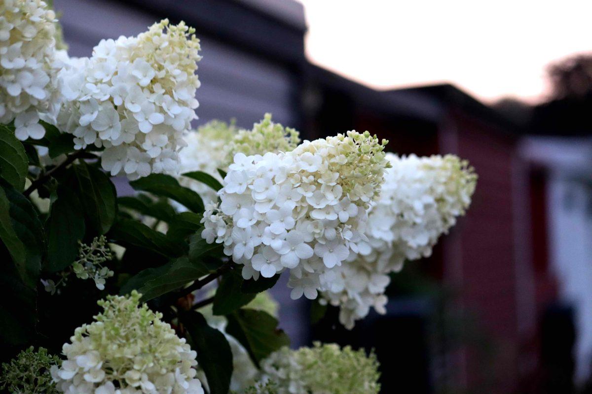 Natalia Lindberg Trädgårdsdesign - Hortenisa Limelight stam blommmor