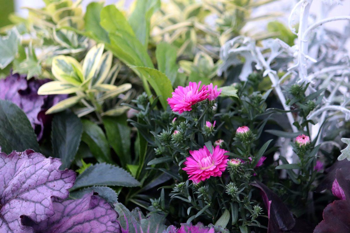 Natalia Lindberg Trädgårdsdesign - höstkrukor frosttåligt aster Höstkrukor i lila toner