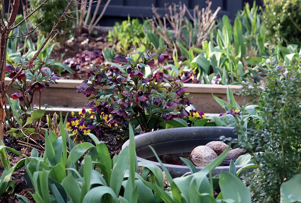 Julros 'Viv. Victoria' blommar från september till maj - Natalia Lindberg Trädgårdsdesign