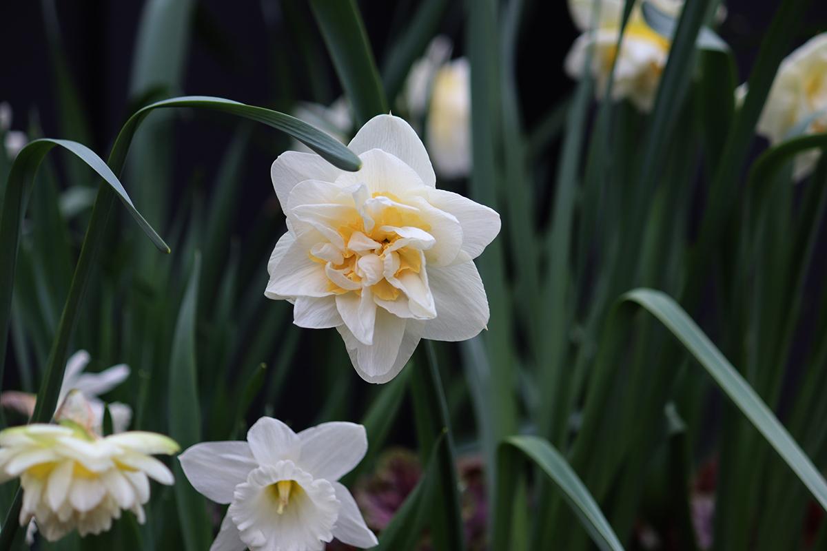 Narcissus white lion - Natalia Lindberg Trädgårdsdesign.jpg