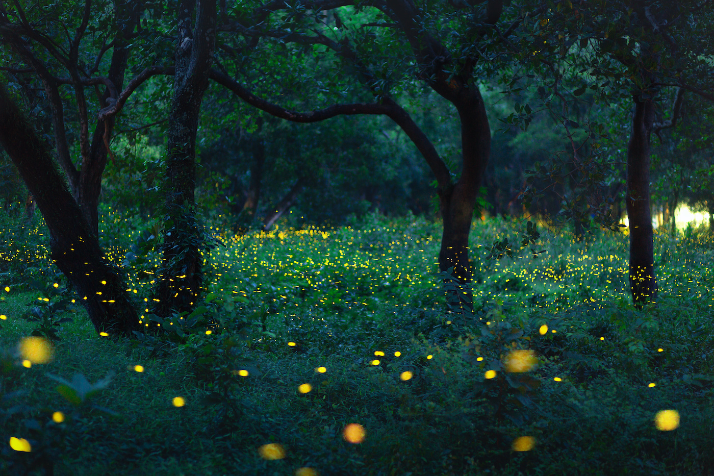Fireflies at the edge of the forest