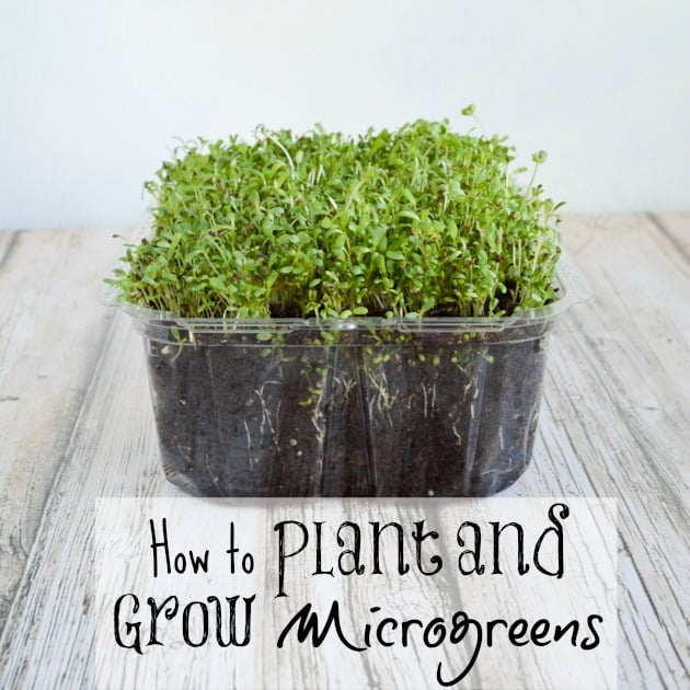 How to Plant and Grow Microgreens