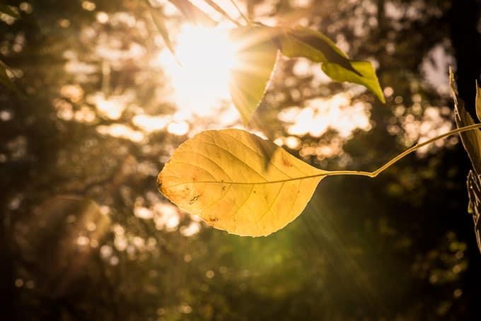 backlit leaves in Colorado