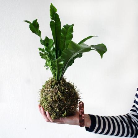 5 idee per la rentree kokedama-birds-nest-fern