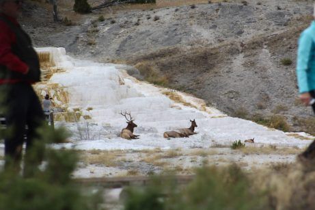 deer at mammoth springs
