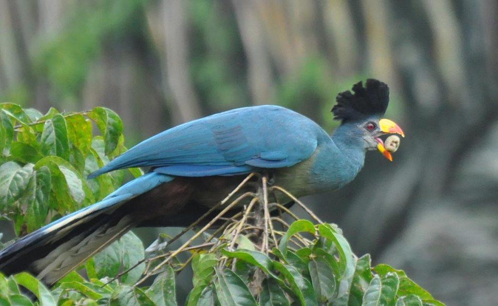 Great Blue turaco - bird watching in Uganda