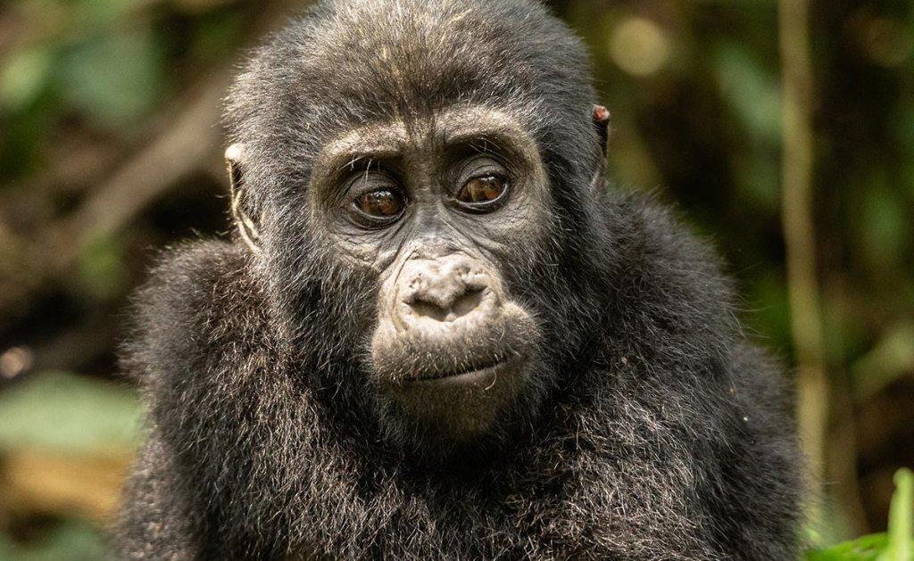 mgahinga national park mountain gorillas