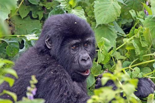 Bwindi Gorilla Trekking Safari - Flying