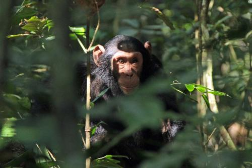 chimp protection and conservation