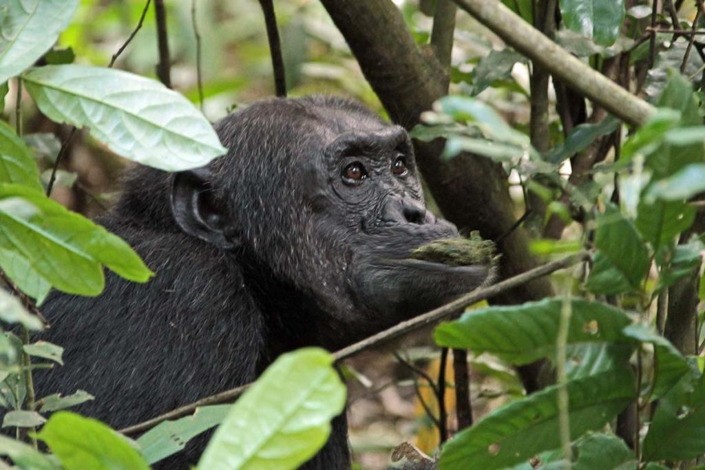 Chimpanzee Trekking Rules