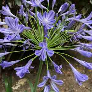 Lily of the nile agapanthus flowers