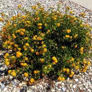 Orange Lantana Flowers