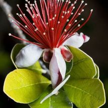 pineapple guava flower in bloom