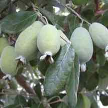 Pineapple Guava fruit