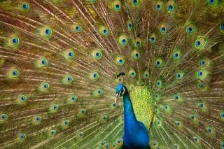 0097 Courtship Peacock Nate Zeman