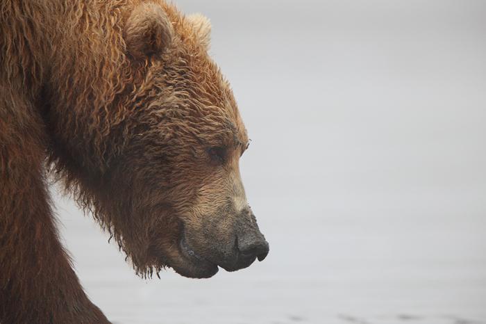Animal Print Wallpaper Uk Grizzly Profile Alaskan Brown Bear Ursus Arctos