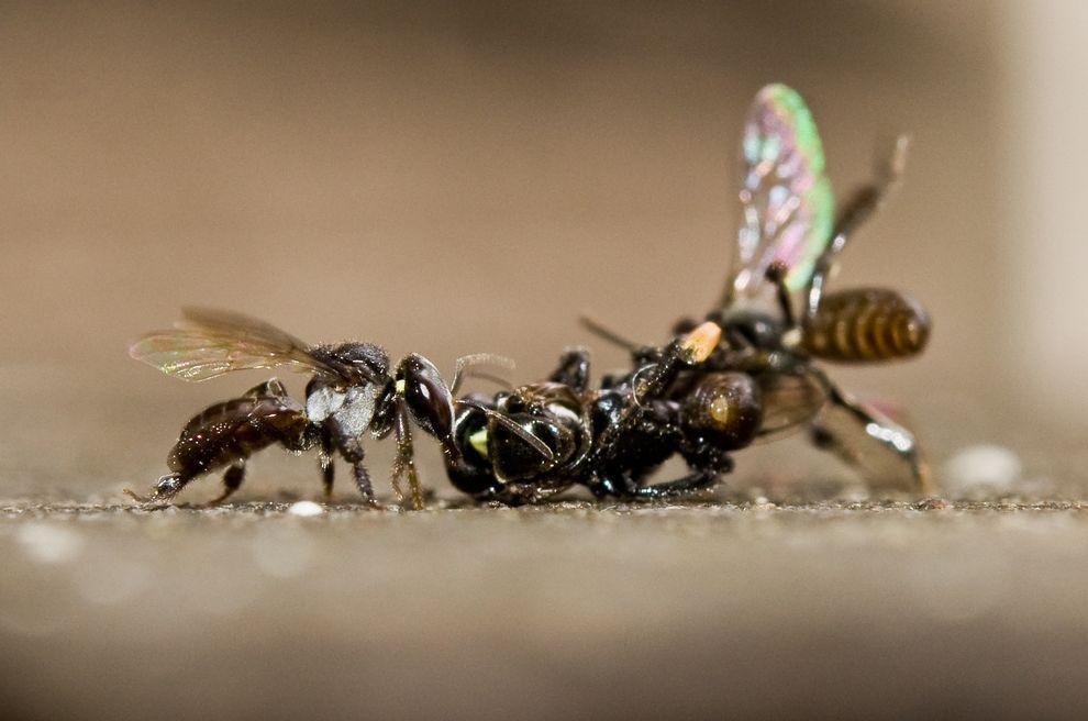 澳洲兩隻無刺的蜜蜂因打鬥而纏在一起,勝者可接手戰死蜜蜂的窩巢。攝影:TOBIAS SMITH