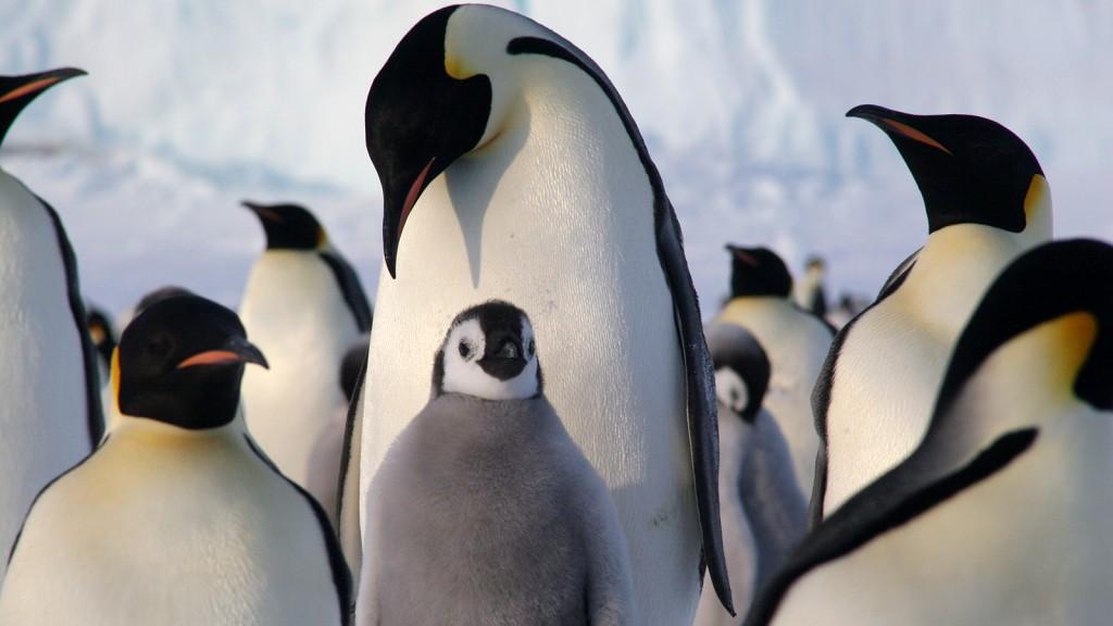 【動物好朋友】皇帝企鵝(Emperor Penguin) - 國家地理雜誌中文網