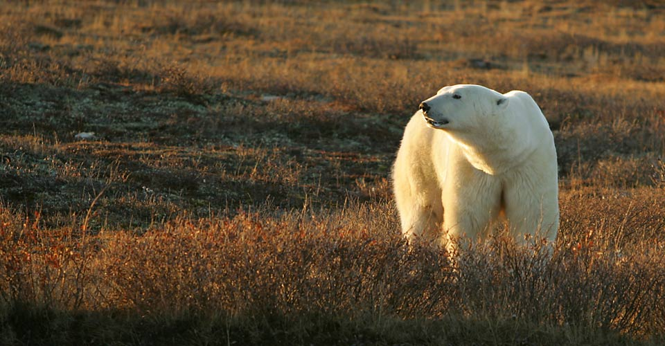 North-Churchill-Summer-4-polar-bear.jpg