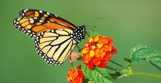 الفراشات الملكية Monarch تحصل علي 3.2 مليون دولار من الحكومة الأمريكية