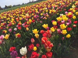 Went to a Tulip festival on Tuesday.