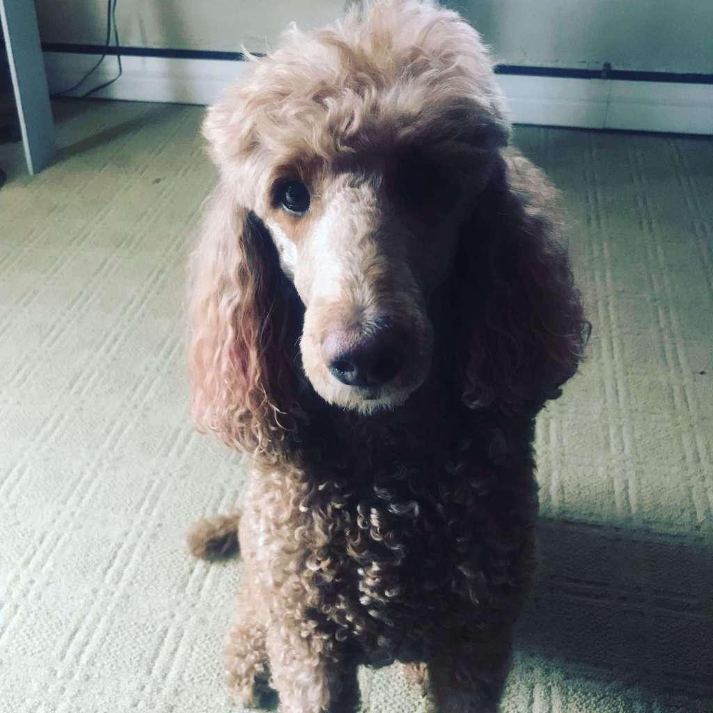 sophie standard poodle