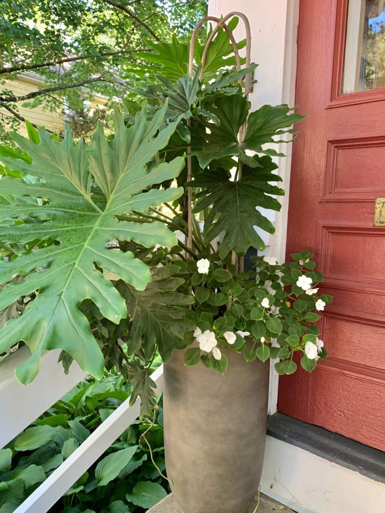 Natick editor's philodendron