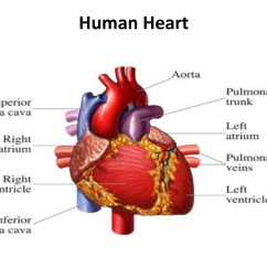 Healthy Heart Diagram Wiring Of Car Stereo The Human Cpr Certification Online First Aid