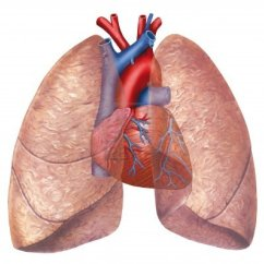 Human Heart And Lungs Diagram Location Lymph Nodes Lung Jpg Cpr Certification Online First Aid Training Class