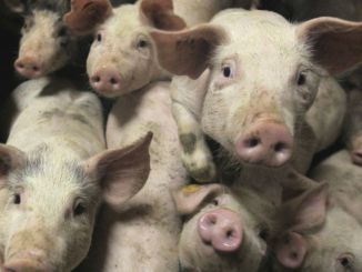 pigs are a vector for disease and harbor antibiotic resistant bacteria
