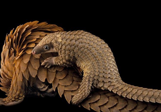 Pangolín arborícola africano