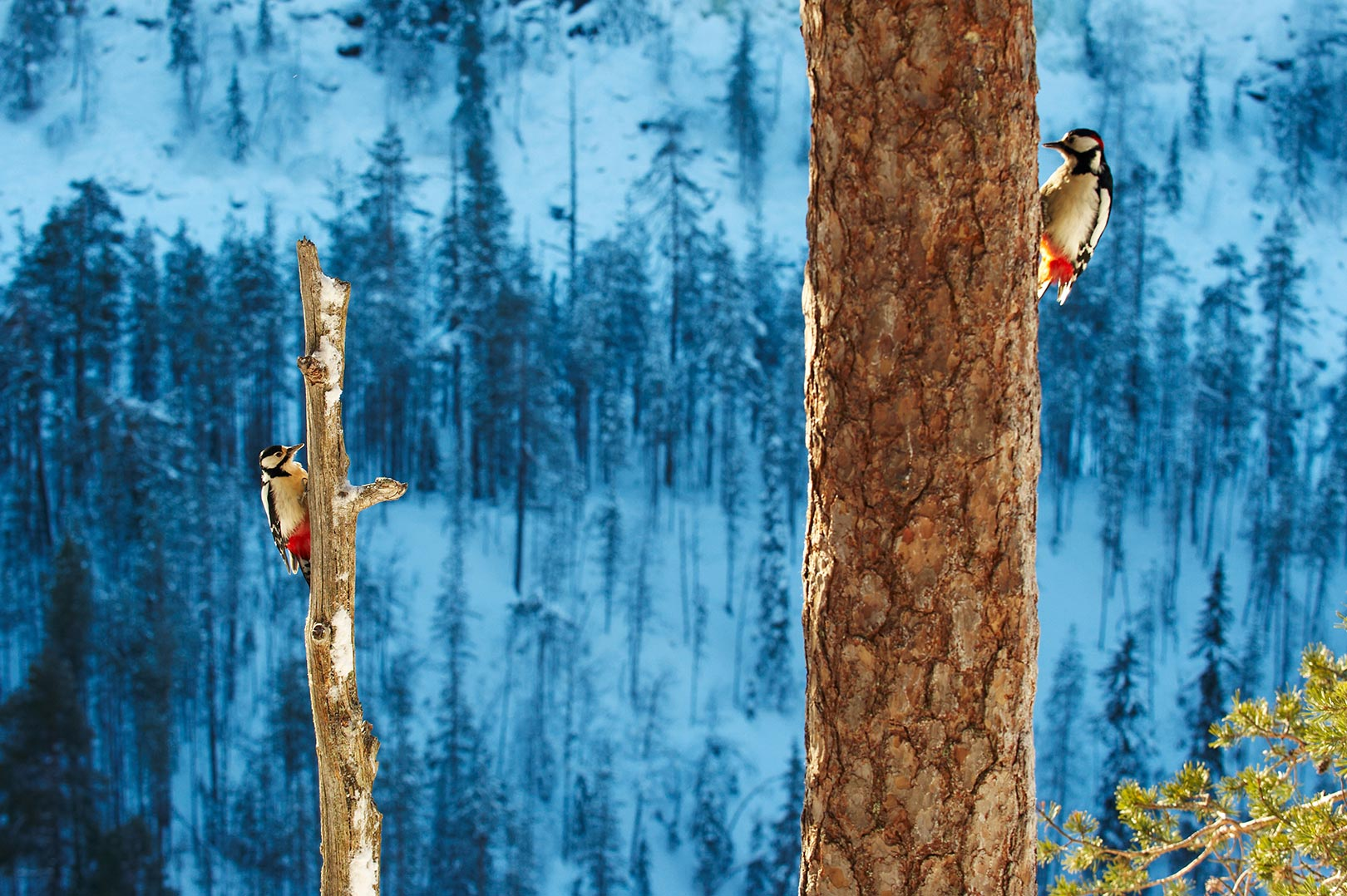 Picture of two great spotted woodpeckers in Korouoma Nature Reserve, Finland