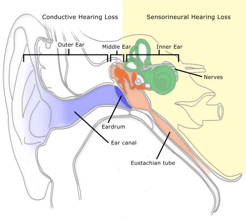 small resolution of ear external ear diagram bone