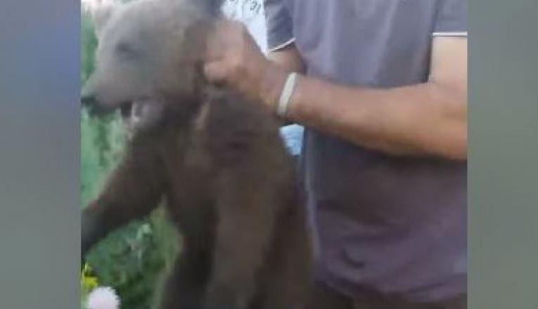 Ursuleţ CHINUIT FARA MILA în Braşov, după ce a fost capturat de un grup de tigani  - VIDEO