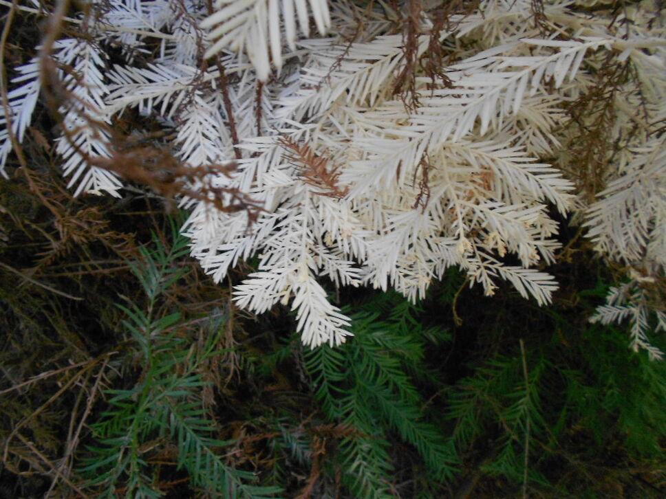 white redwood tree  National Parks Blog