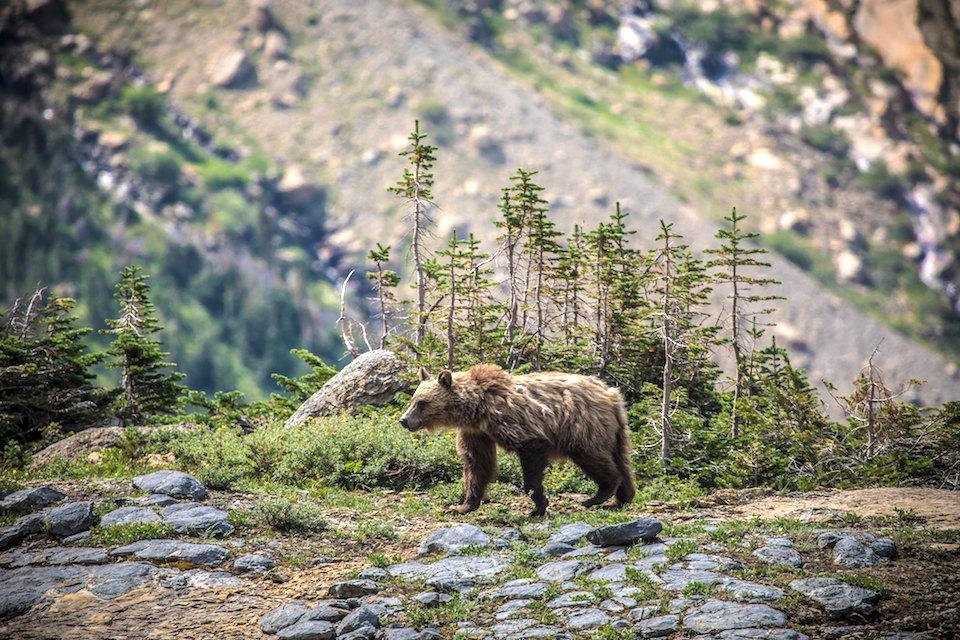 unusual grizzly bear behavior
